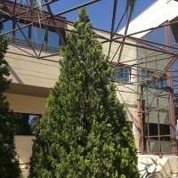 thumb_Thuja occidentalis1