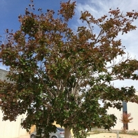 thumb_Lagerstroemia indica1