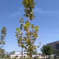thumb_Platanus x hispanica copia