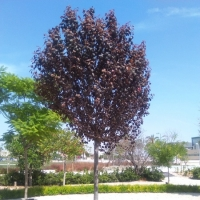 thumb_Prunus cerasifera copia