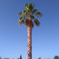 thumb_Washingtonia robusta1