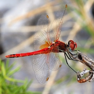 Sympetrum_fonscolombii_red
