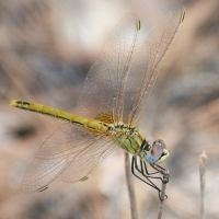 thumb_Sympetrum_fonscolombii_hembra_red