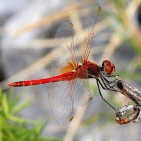 thumb_Sympetrum_fonscolombii_red