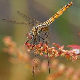 Trithemis_annulata_hembra_red