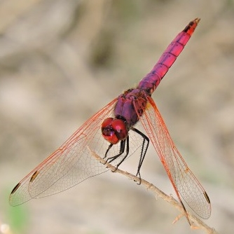 Trithemis_annulata_macho_red