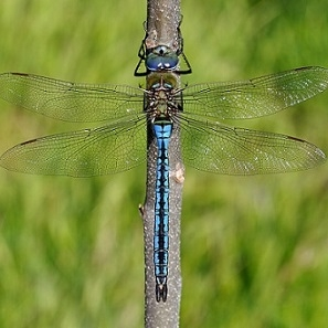 Anax_imperator_macho_red