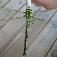 thumb_Anax_imperator_hembra_red